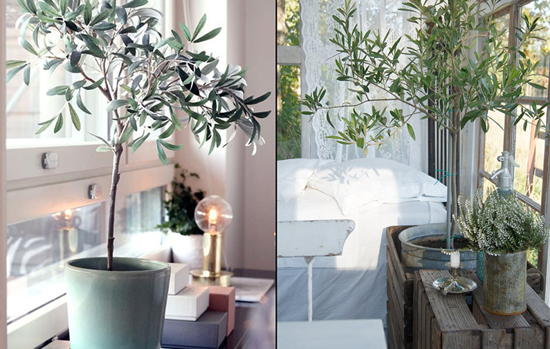 comment planter un olivier en pot this is why you need olive trees in your home and garden with. Black Bedroom Furniture Sets. Home Design Ideas
