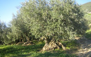 Tramier_blog_huile_olive_route_oliviers_ep_1