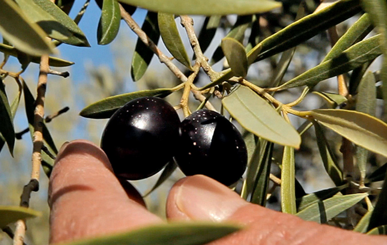 tramier_selection_olives